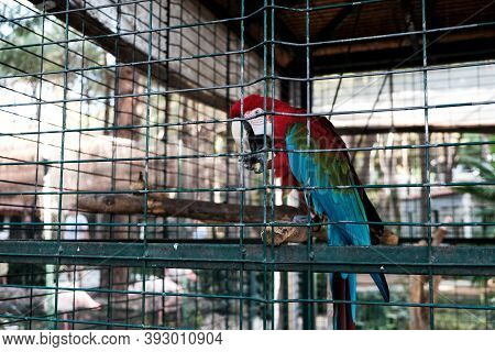 Scarlet Macaw Or Ara Macao Parrot Sitting In A Cage At Zoological Garden. Keeping Wild Birds And Ani