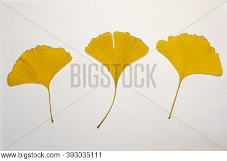 Yellow Leaves Of A Gingko Tree On A White Background. Maidenhair Tree. Gingko Biloba . Ginkgophyta.