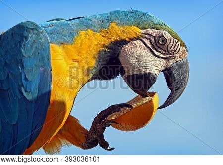 Yellow And Blue Winged Macaw Nibbling On A Orange.