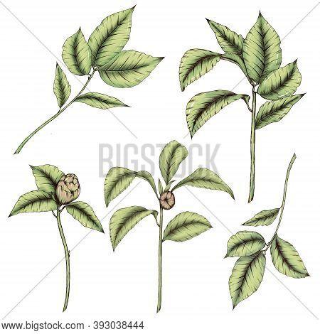 Lovely Greenery Illustrations, Green Leaves Isolated, Wedding Greenery Decor Elements, Camelia Flowe