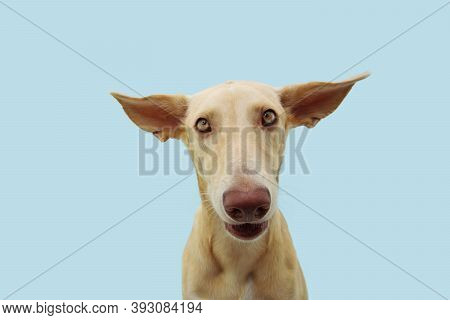 Funny Confused Or Disconfort Dog Expression With Big  Ears Flattening. Isolted On Blue Background.