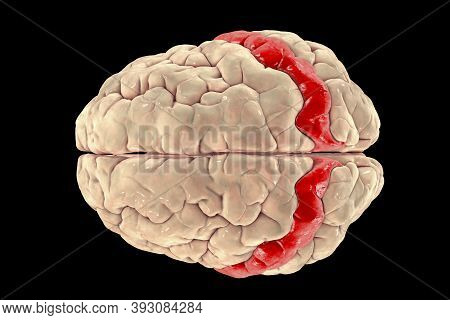 Human Brain With Highlighted Postcentral Gyrus, Top View, 3d Illustration. It Is Located In The Late