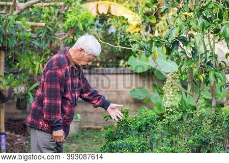 An Elderly Asian Man Looking At A Chili Tree While Standing In The Garden. Concept Of Aged People An