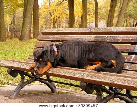 Rottweiler pup resting on the garden bench in park in autumn poster