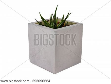 Haworthia Succulent Natural Garden Container Plant Endemic Southern Africa In Grey Round Concrete Pl
