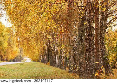 Asphalt Road In Autumn Lane With Birch Trees. Beautiful Nature Landscape. Fall Season
