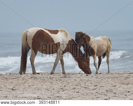 A Mare And Her Foal On The Beach Of Assateauge State Park.