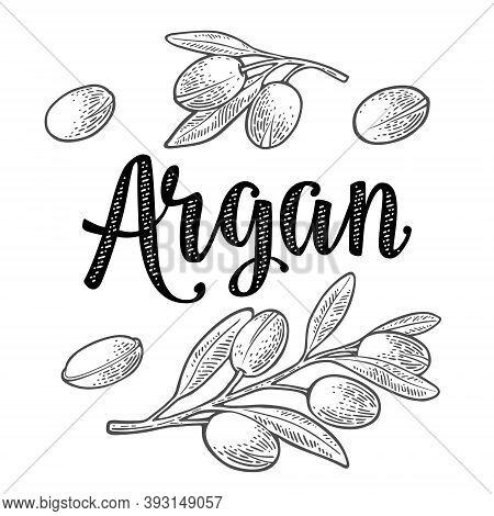 Set Of Argan Branches, Leaves, Nuts. Vector Vintage Engraved Illustration
