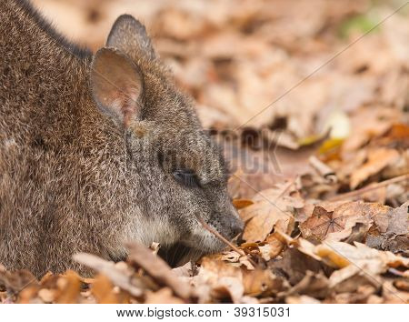 Resting Parma Wallaby