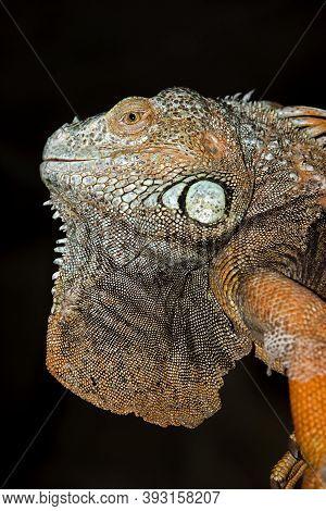 Green Iguana Iguana Iguana, Portrait Of Adult