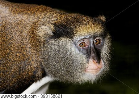 Campbell's Monkey Cercopithecus Campbelli, Portrait Of Adult