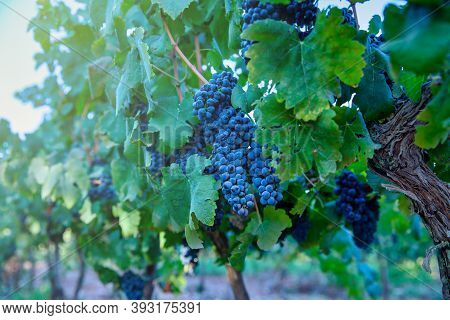 Grapes Wineries. Ripe Dark Purple Grapes On Vines Tree At Wine Harvest Time On A Green Background On