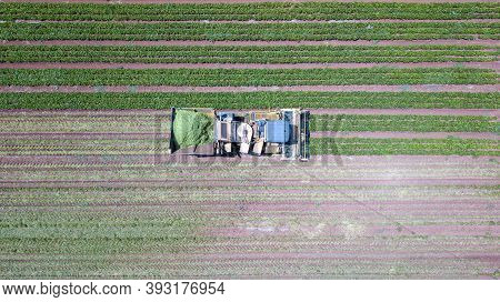 Green Beans Harvest. Mechanised Harvesting At A Large Field Of Green Bean Agriculture Field.