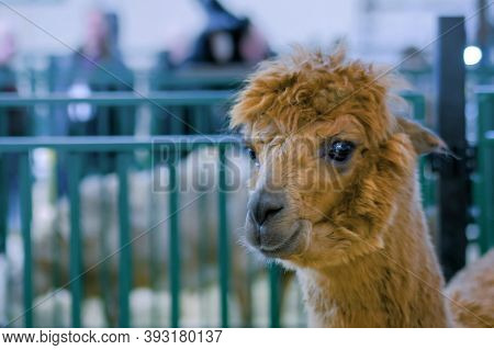 Portrait Of Brown Alpaca Looking Around At Agricultural Animal Exhibition, Trade Show - Close Up Vie