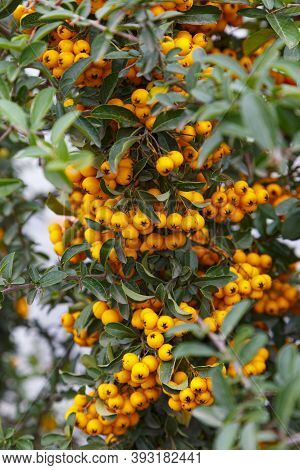 Plant Of Pyracantha, Firethorn, Evergreen Shrubs , Branch With Yellow Berry-like Pomes Close-up On B
