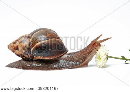 Giant African Snail Achatina On A White Background With A Flower, Domestic Snails, Snail Slime For S