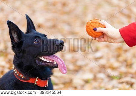 Black German Shepherd Performing The Command To Wait With The Ball. Obedience Training Dog. Pet Play