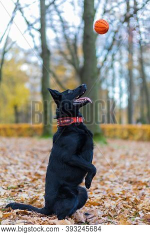 Black German Shepherd Carries Out Command To Serve, Catching Ball On The Fly. Obedience Training Dog