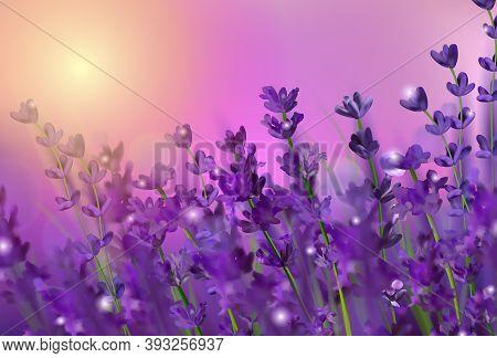 Violet Lavender Field. Flowers Lavender And Sunset Glitter Over. Blooming Violet Fragrant Lavender F