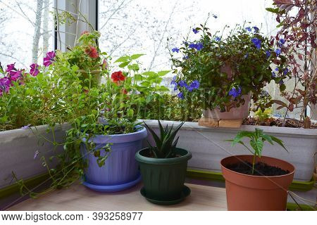 Beautiful Garden On The Balcony With Potted Plants. Petunia And Lobelia Flowers, Aloe And Hot Pepper