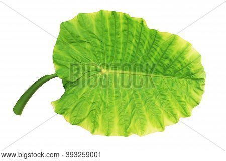 Elephant Ear, Cocoyam, Dasheen, Eddoes Or Japanese Taro Leaf Isolated On White Background With Clipp