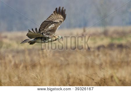 Red-tailed Hawk Hunting Over Marsh