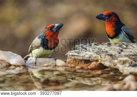 Black Collared Barbet Couple Standing At Waterhole In Kruger National Park, South Africa ; Specie Ly