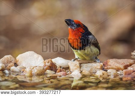 Black Collared Barbet Standing In Waterhole In Front View In Kruger National Park, South Africa ; Sp