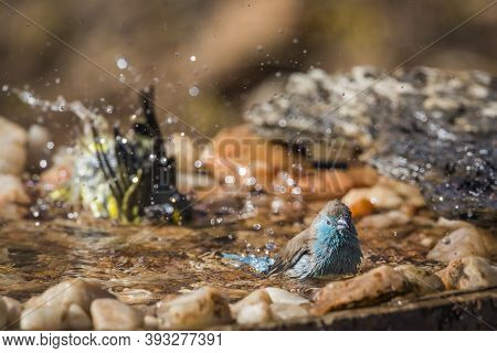 Blue-breasted Cordonbleu And Yellow Fronted Canary Bathing In Waterhole In Kruger National Park, Sou