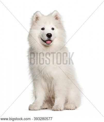 White Samoyed dog, sitting and panting, isolated on white
