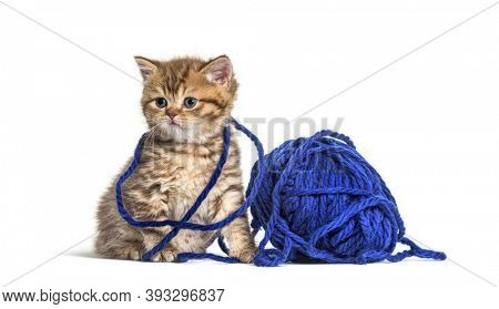Kitten British Shorthair cat playing with a blue ball of wool