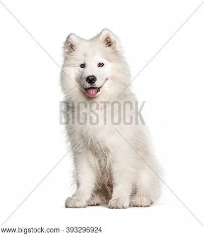 White Samoyed dog, sitting and panting, isolated on white