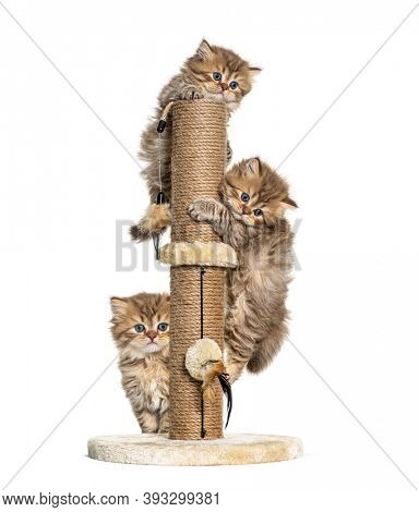 kittens British longhair playing with a cat tree