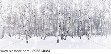 Winter Birch Grove. Snow Is Falling In The Forest. Snow Covered Trees. Frosty, Cold Weather. Panoram