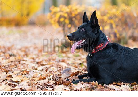 Portrait Of Black German Shepherd With Long Tongue In Autumn In The Park. Dog Is Waiting For The Own