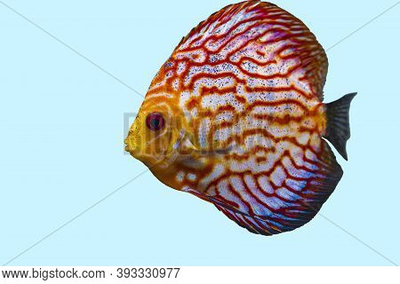 Close Up View Of Gorgeous Checkerboard Red Map Discus Aquarium Fish Isolated On Blue Background. Hob