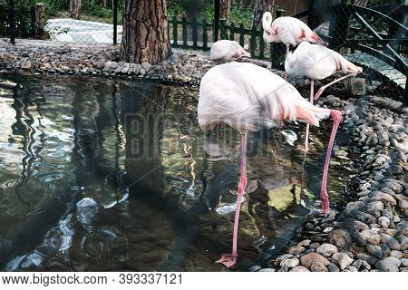 Funny Flack Of Pink Flamingos Hiding Heads Under Wings. One Legged Beautiful Flamingo Near A Pond/la