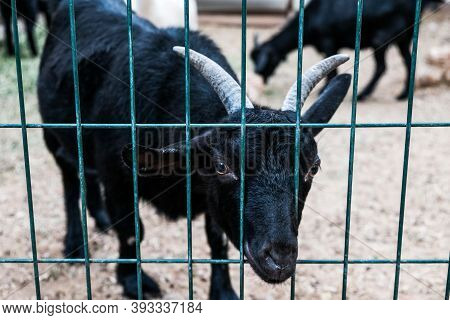 Сurious Black Goat Looking Out From Behind The Fence In A Zoo. Sad Captive Animal On A Farm. Hungry
