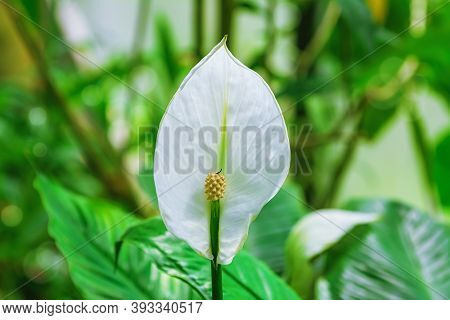 Spathiphyllum (peace Lily) Flower.  Evergreen Herbaceous Perennial Plant