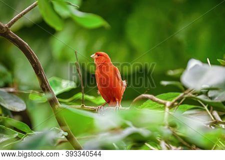 Red Factor Canary Perching On The Branch