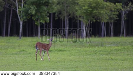 Whitetail Doe On A Field Near A North Carolina Forest