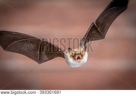 Flying Natterer's Bat (myotis Nattereri) Action Shot Of Hunting Animal On Brick Background. This Spe