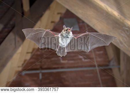 Flying Natterer's Bat (myotis Nattereri) Action Shot Of Hunting Animal On Wooden Attic Of City Churc