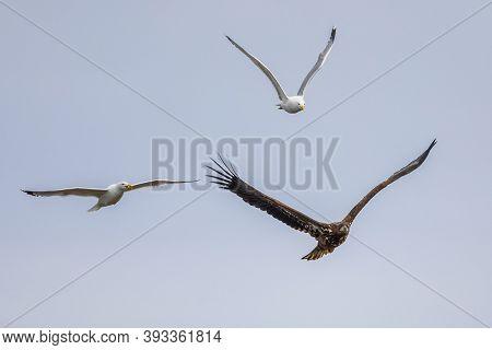 Flying White-tailed Eagle (haliaeetus Albicilla) Chased By Gulls At Lake Csaj, Kiskunsagi National P
