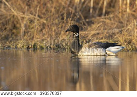 Brant Is Smaller Species Of Goose. Scene From Conservation Area Of wisconsin During Migration