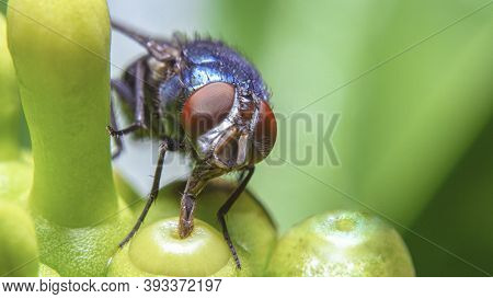 A Fly Drinking Some Dewdrop From The Top Of Flower Bud
