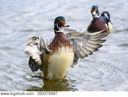 Beautiful Male Wood Duck Swimming In The Lake. Orange Body. Green, Blue And Purple Head With Red Eye