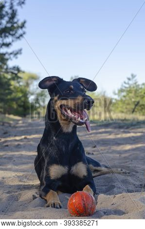 Funny Puppy Dog Breed Doberman Lies On The Sand With A Red Ball Toy. Pet With An Open Mouth And Stic