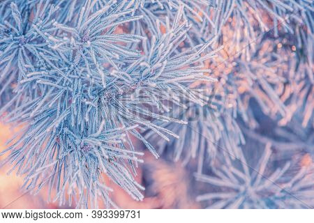 Pine Branches Covered With Rime. Natural Winter Background. Winter Nature. Snowy Forest. Christmas B