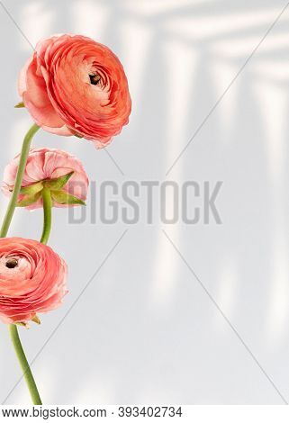 Fresh natural ranunculus on off white background